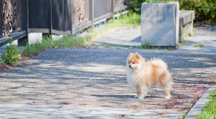 散歩中、周囲を見渡し警戒する様子のポメラニアンイメージ