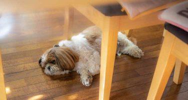 室内で暑さにぐったりする犬