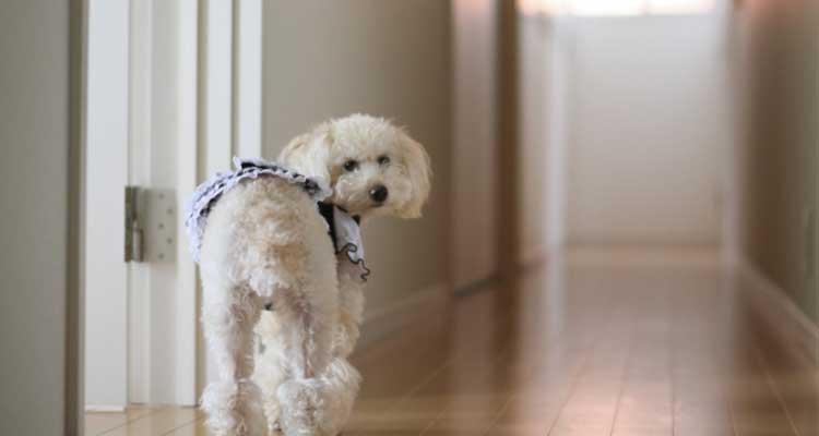 飼い主に気づき振り返る室内犬